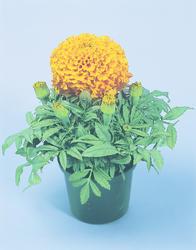 Tagetes erecta Discovery Orange F1 200 seeds