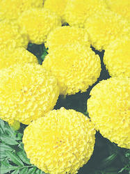 Tagetes erecta Discovery Yellow F1 200s - 1