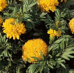 zzzTagetes Pollux Golden Yellow 500s