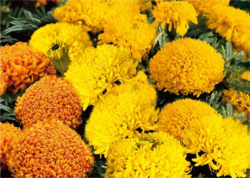 zzzTagetes Pollux Mixture 500s