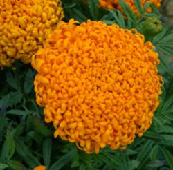 zzzTagetes Pollux Orange 500s