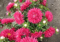 Callistephus ch. Clear pink Dwarf 2g