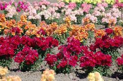 Antirrhinum m. Twinny Mixture F1 500s