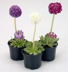 Primula denticulata Mixed Shades 0,10g