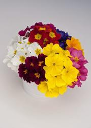 Primula elatior Colossea Mixed 0,50g