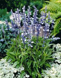 Salvia farinacea Fairy Queen 1000s - 1