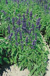 Salvia farinacea Victoria Blue 1000s