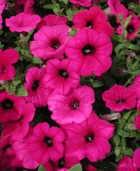 Petunia h. Purple Velvet F1 250 pelet - 1