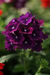Verbena hybrida Quartz XP fialová 500s
