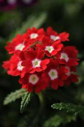 Verbena hybrida Quartz XP červená s okem 500s