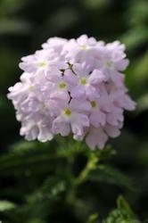 Verbena hybrida Quartz XP Lavender 500 seeds - 1