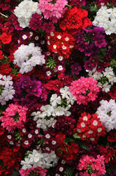 Verbena hybrida Quartz XP Mix 500 seeds - 1