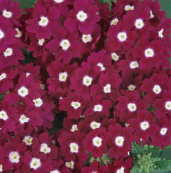 Verbena hybrida Quartz XP Burgundy Eye 500 seeds