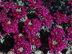 Verbena hybrida Mamut Směs 2g - 1