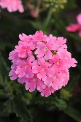 Verbena hybrida Quartz XP světle růžová 500s