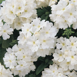 Verbena hybrida Quartz XP White 500 seeds - 1
