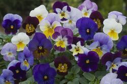 Viola c. Floral Mixture F1 250s - 1