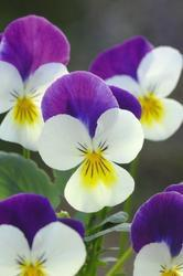 Viola c. Floral White Purple Wing  F1 250s - 1