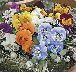 Viola x w.Cats Mix F1 500 seeds - 1