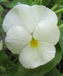 Viola x w. Firnenschnee 1g