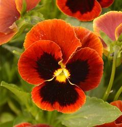 Viola x w. Flamme 1g