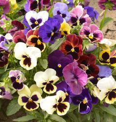 Viola x w. Sch. Ries. Prachtmischung 1g - 1