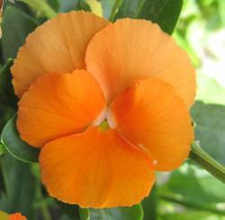 Viola x w. Velkokvětá oranžová 1g