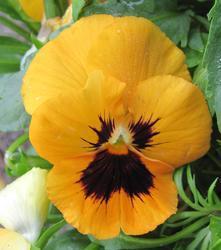 Viola x w. Oranžová s okem 1g