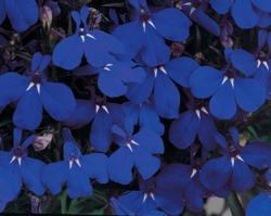 Lobelia erinus Riviera Marine Blue 0,5g - 1