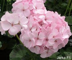 Pelargonium x h. Jarka F1 100s
