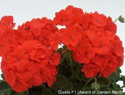 Pelargonium x h. Gizela F1 100s