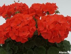 Pelargonium x h. Alena F1 100s