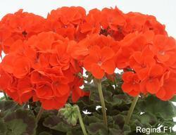 Pelargonium x h. Regina F1 100s