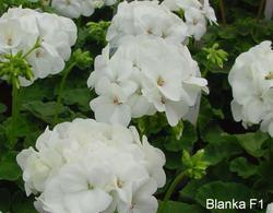 Pelargonium x h. Blanka F1 100s