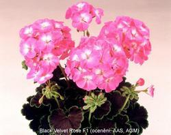 Pelargonium x h. Black Velvet Rose F1 100s - 1