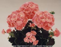 Pelargonium x h. B. V. Salmon F1 100s - 1