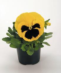 Viola x w. Inspire žlutá s okem  F1 500s