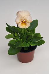 Viola x w. Inspire broskvové odstíny  F1 500s - 1