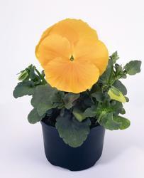 Viola x w. Inspire zlatožlutá F1 500s - 1
