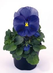 Viola x w. Inspire True Blue F1 500 seeds - 1