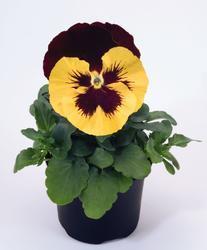 Viola x w. Inspire žl.s červ.plátky a okem F1 500s - 1