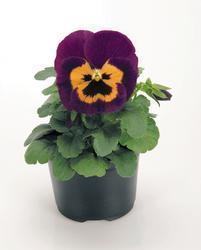 Viola x w. Inspire fialovooranžová F1 500s - 1