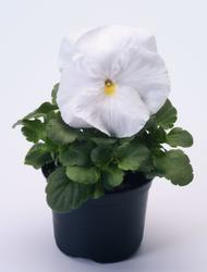 Viola x w. Inspire bílá F1 500s - 1