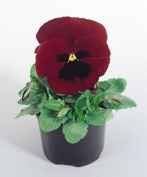 Viola x w. Inspire červená s okem  F1 500s - 1