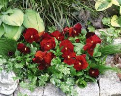 Viola x w. Inspire Scarlet 500 seeds