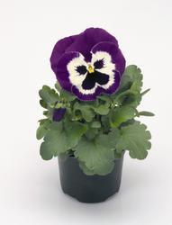 Viola x w. Inspire fialovobílá  F1 500s - 1