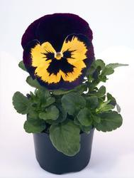 Viola x w. Inspire Violet-Yellow F1 500 seeds - 1