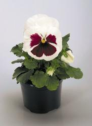 Viola x. w.Inspire White with Red Blotch 500 seeds
