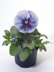 Viola x w. Inspire Silver Blue with Eye 500 seeds - 1