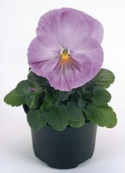 Viola x w. Inspire Lavender F1 500 seeds - 1